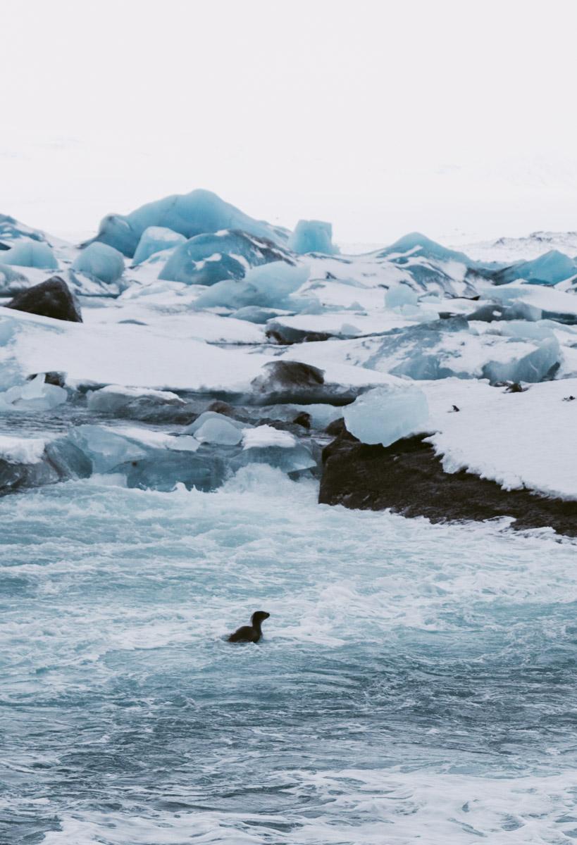 seal in glacier lagoon, iceland