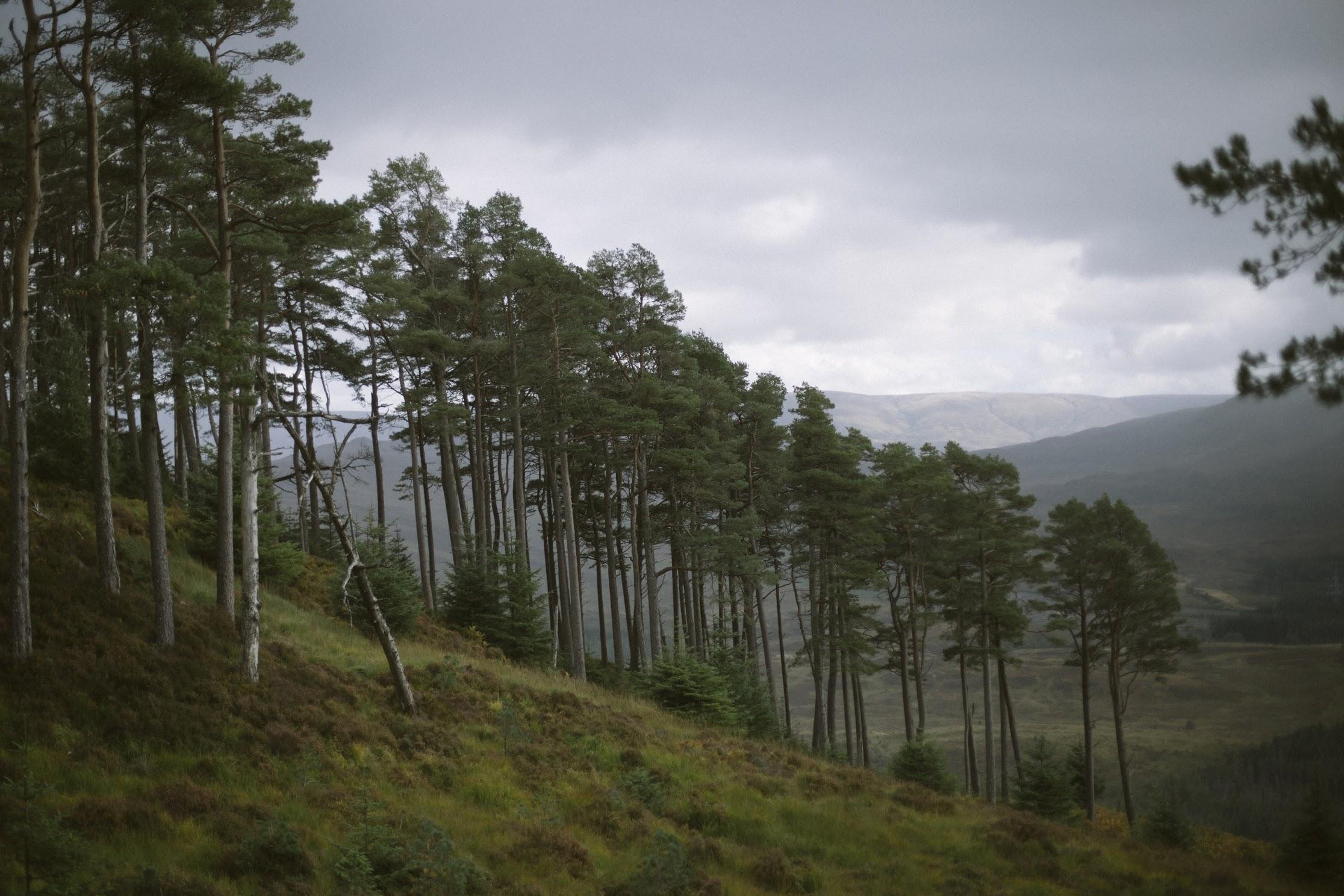 Scots Pine - Cairngorms - Ceranna Photography - forest
