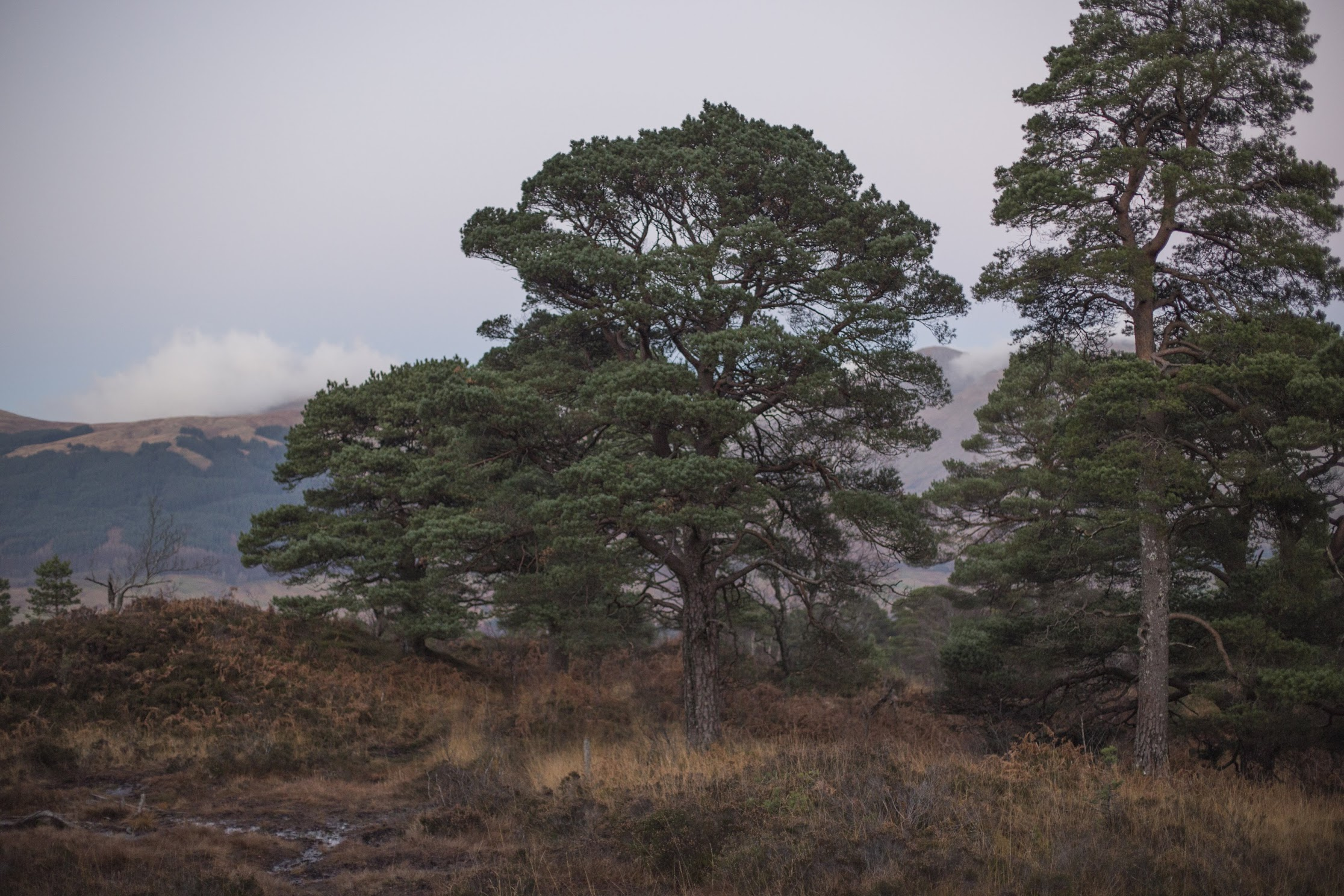 Sustainable Wedding Photographer - Scots Pine Forest